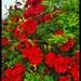 Seaside Roses