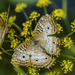 White Peacock Butterfly macro by k9photo