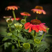 Coneflower by calm