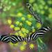 Zebra Longwing Trio by kvphoto