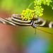 Zebra Longwing Closeup by kvphoto