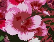 6th Jul 2021 - Lace dianthus