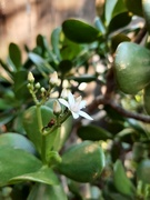 7th Jul 2021 - Blooming Jade
