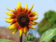 7th Jul 2021 - Sunflower