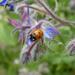 Ladybird on Borage  by wendyfrost