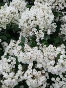 5th Jul 2021 - Cascade of Roses
