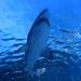 Shark Above Me