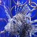 Lionfish by homeschoolmom