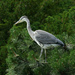 A Heron In A Pine Tree by snoopybooboo