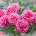 Roses  by haskar