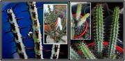 3rd Jul 2021 - Euphorbia aeruginosa and Euphorbia baioensis