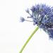 Hi-Key Allium Blue by phil_sandford
