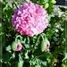 Pink Poppy by beryl