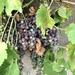 Alley Grapes by loweygrace