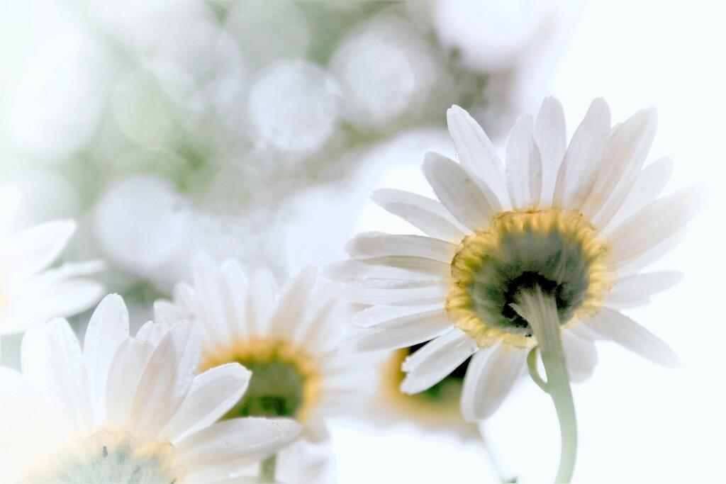 Upsy Daisy by lynnz