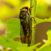 Cicada Hanging Out! by rickster549