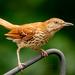 Brown bird