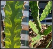 4th Jul 2021 - Euphorbia Pseudocactus 'Candelabra Spurge'