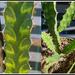 Euphorbia Pseudocactus 'Candelabra Spurge'