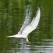 Tern in flight by tonygig