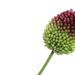 Allium by phil_sandford