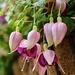 Fuchsias   by carole_sandford