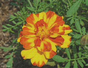 9th Jul 2021 - Marigold Artistic processing