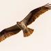 Osprey Flying Overhead! by rickster549