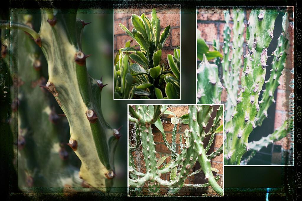 Euphorbia royleana by annied