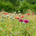 Poppies by mave