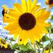Sunflowers by loweygrace