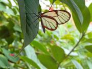 10th Jul 2021 - Glass wing butterfly