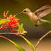 Finally Got a Hummingbird Today! by rickster549