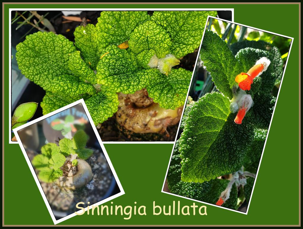 Sinningia bullata by annied