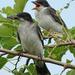 Eastern Kingbirds by annepann