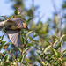 Cedar Waxwing is Finished Snacking