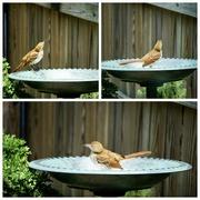 12th Jul 2021 - Bird Bathing 1