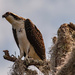 Young Osprey Watching the Water for a Meal! by rickster549