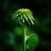 baby cone flower by jernst1779