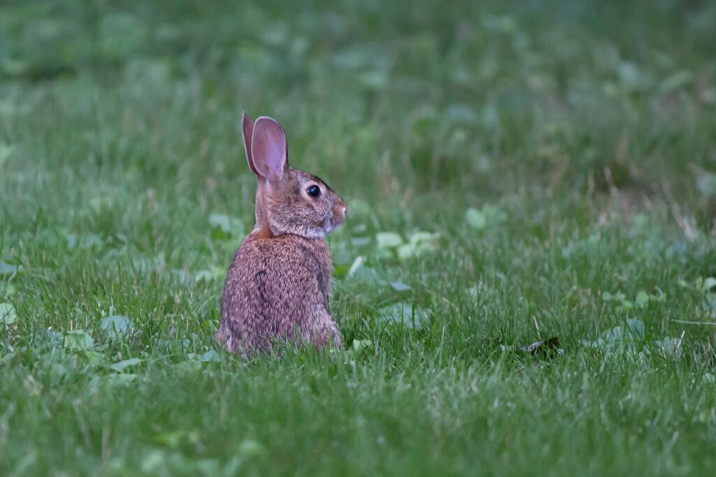 Yard Bunny by batfish