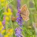 Butterfly in the Meadow  by rjb71