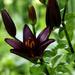 Lilium Black Mamba by tonygig
