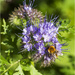 Wild Phacelia by pcoulson