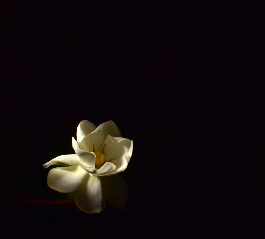 My first gardenia flower.. by jayberg