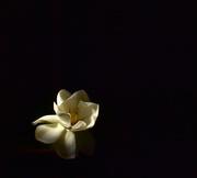 13th Jul 2021 - My first gardenia flower..