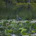Heron in the Lotus Garden