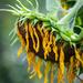 Senior Sunflower by randystreat