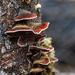 Fungi on the tree