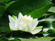 14th Jul 2021 - Water Lily