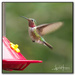 Hummingbirds are Coming